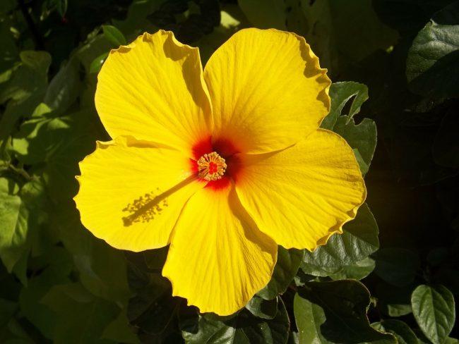 hibiscus-99474_1280