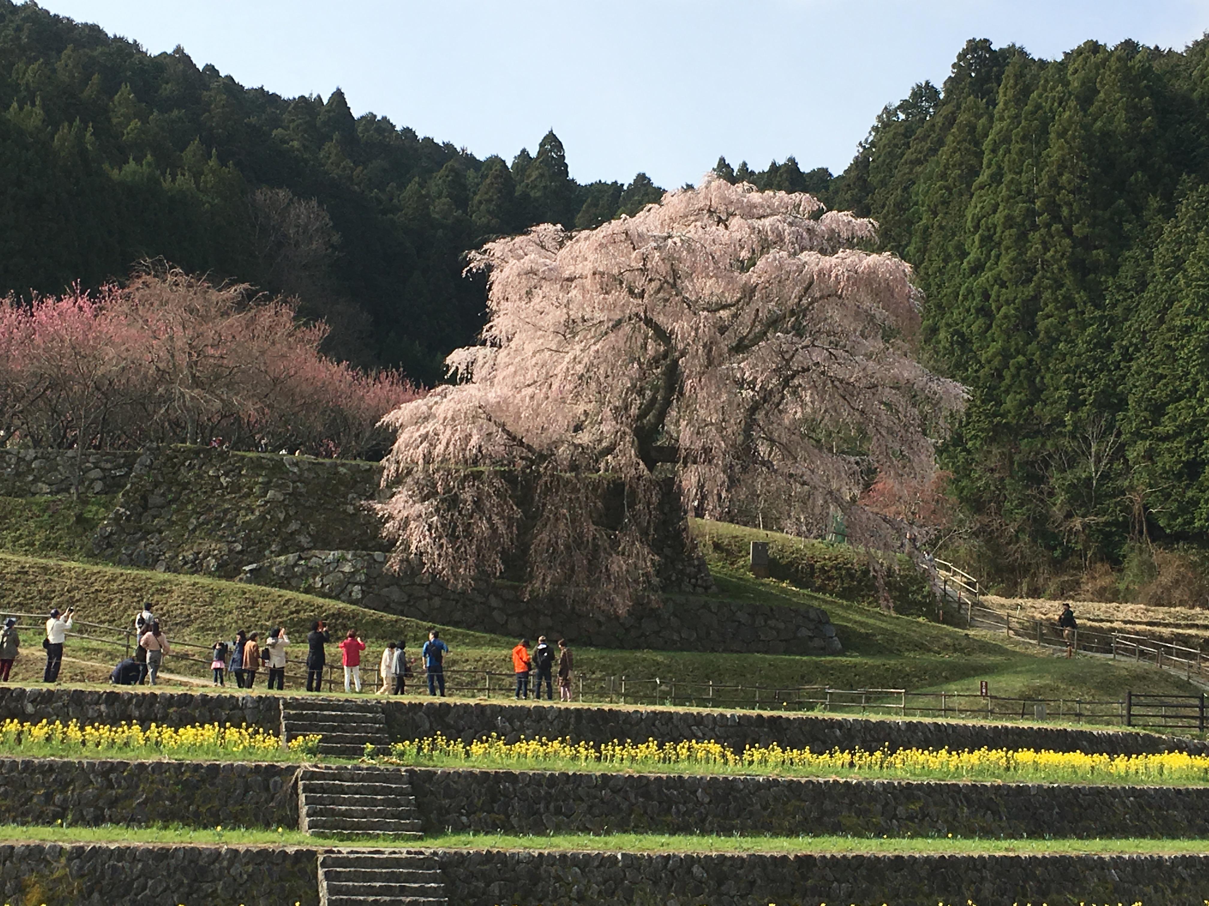 奈良の一本桜「又兵衛桜」の里の近くで買えるおすすめのスイーツ4選